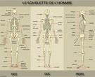 Le squelette de l'homme partie 1